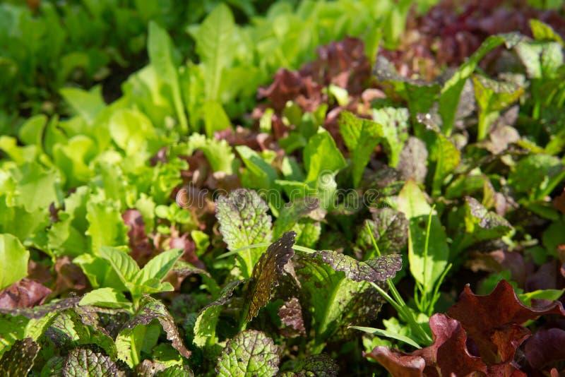 Reihen des Kopfsalates und des Senfes der verschiedenen Farben im Gartenbett lizenzfreie stockfotos
