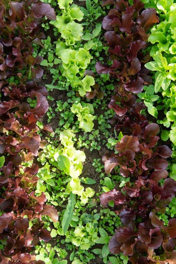 Reihen des Kopfsalates und des Senfes der verschiedenen Farben im Gartenbett lizenzfreies stockfoto