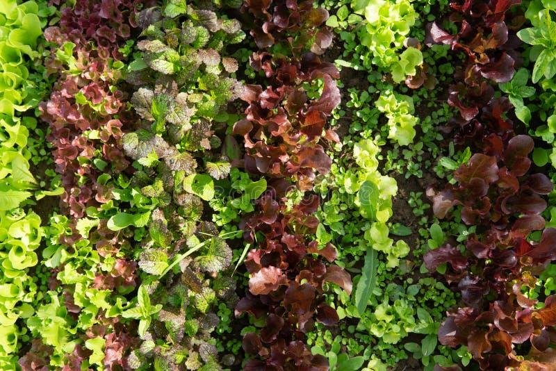 Reihen des Kopfsalates und des Senfes der verschiedenen Farben im Gartenbett stockfotografie