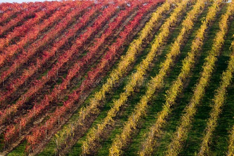 Reihen des Rebe-lambrusco Herbstfarbweinfestivals der Traube lizenzfreie stockfotos