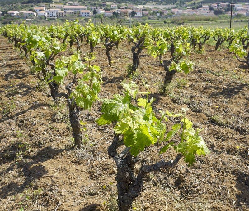 Reihen des Weinbergs, Weinstock mit jungem Grün verlässt im Frühjahr stockfoto