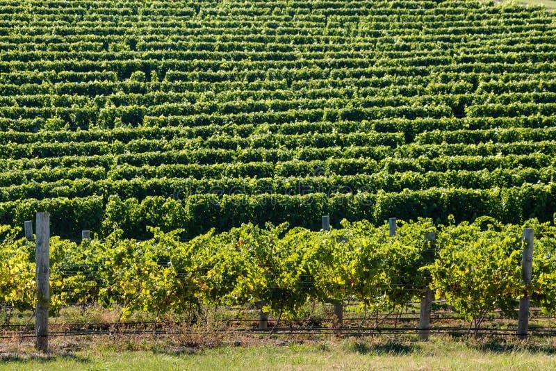 Reihen des Weinstocks im Weinberg lizenzfreie stockfotografie