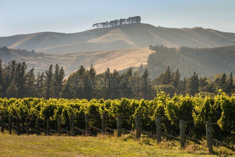Reihen des Weinstocks im Weinberg lizenzfreie stockbilder