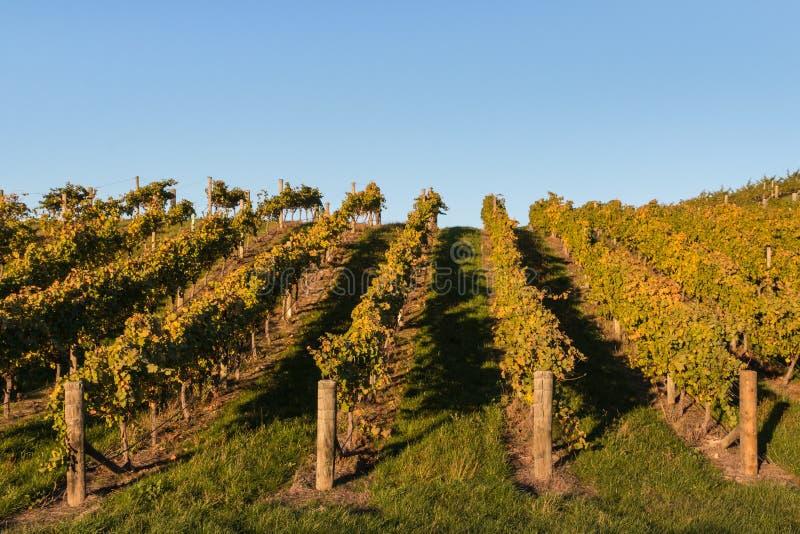 Reihen des Weinstocks wachsend auf Steigung lizenzfreie stockfotos