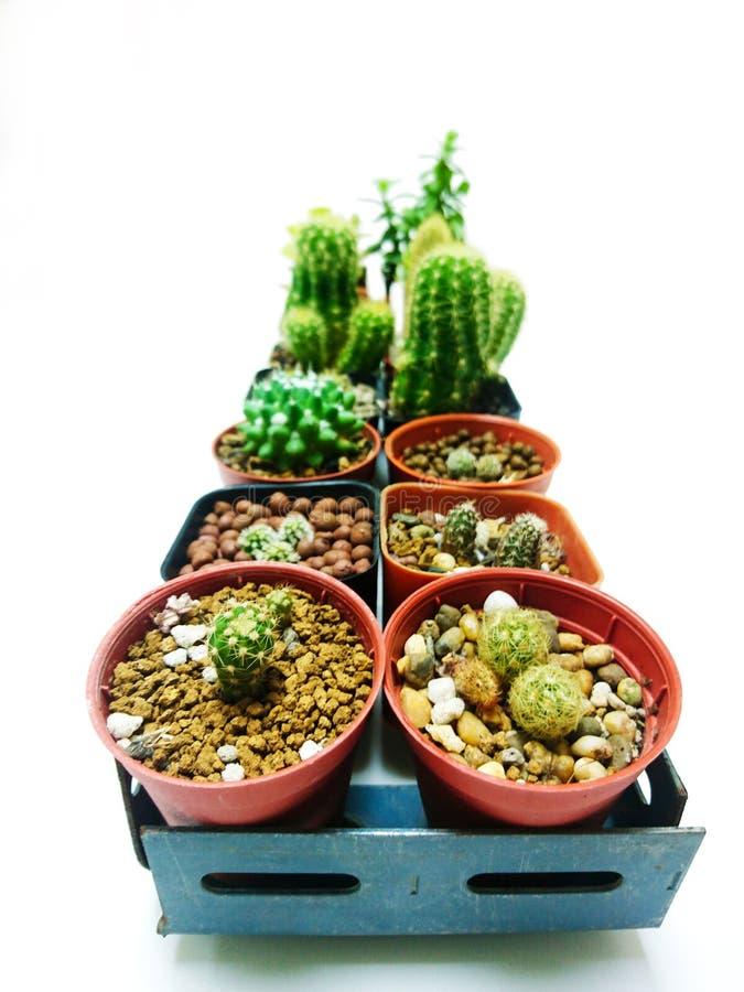 2 Reihen-Sammlung Kaktusweißhintergrund stockfoto