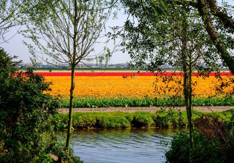Reihen von den bunten Tulpen, die auf einem Blumengebiet nahe Keukenhof-Gärten, Lisse, Südholland wachsen lizenzfreies stockfoto