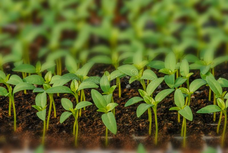 Reihen von eingemachten S?mlingen und von Jungpflanzen stockfotografie