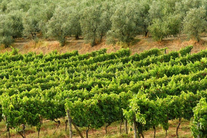 Reihen von grünen Weinbergen mit Olivenbäumen in der Chiantiregion während der Sommersaison toskana lizenzfreies stockbild