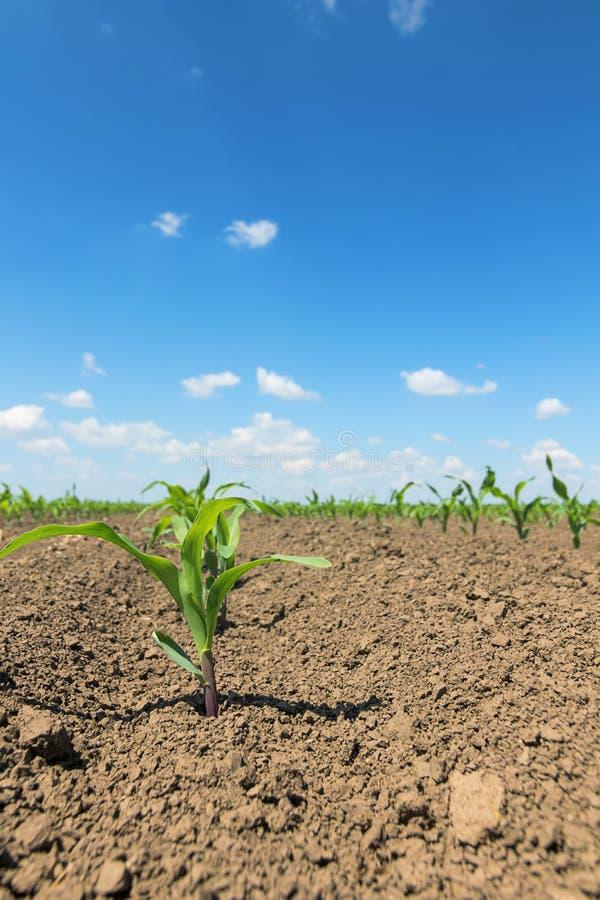 Reihen von jungen Grünkernanlagen Maissämling auf dem Feld lizenzfreie stockfotos