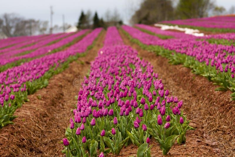Reihen von purpurroten Tulpen stockbilder