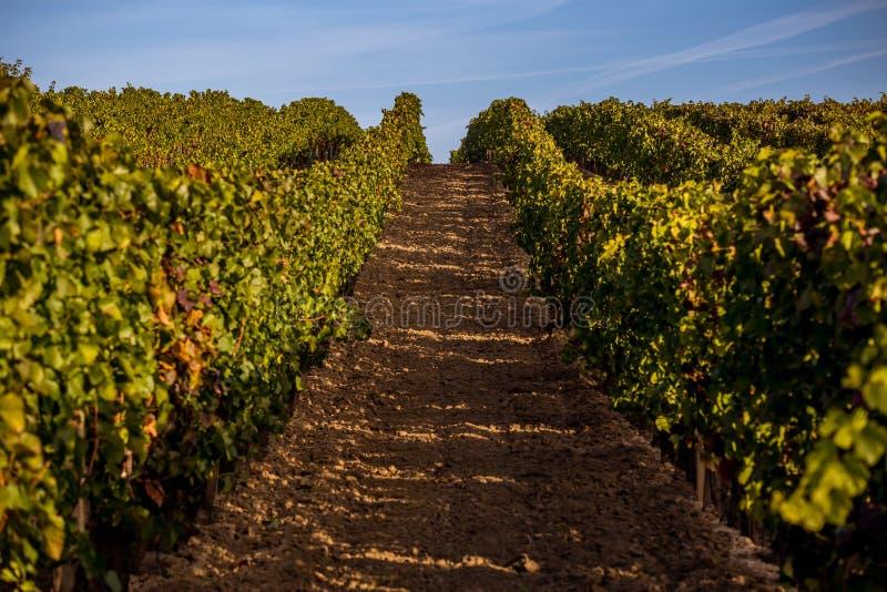 Reihen von Reben auf dem Hügel lizenzfreies stockfoto