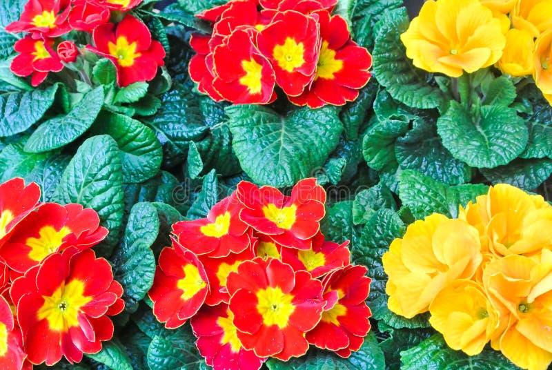 Reihen von schönem buntem, rotes und gelbes Primel flo blühend lizenzfreies stockfoto