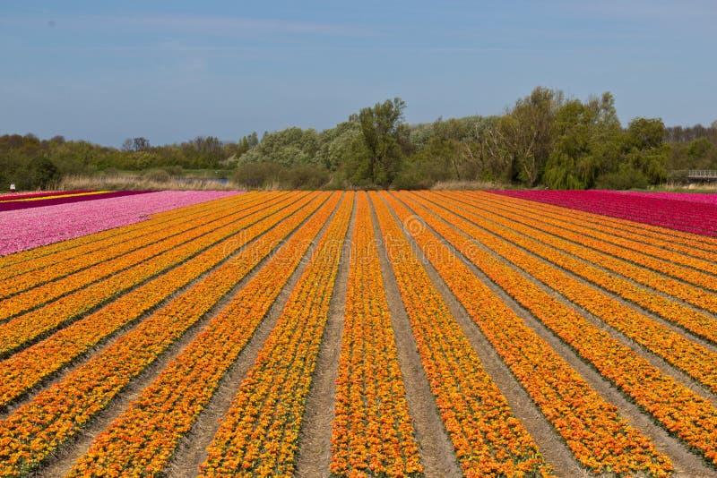 Reihen von Tulpen auf einer Blume bewirtschaften in Holland stockbild