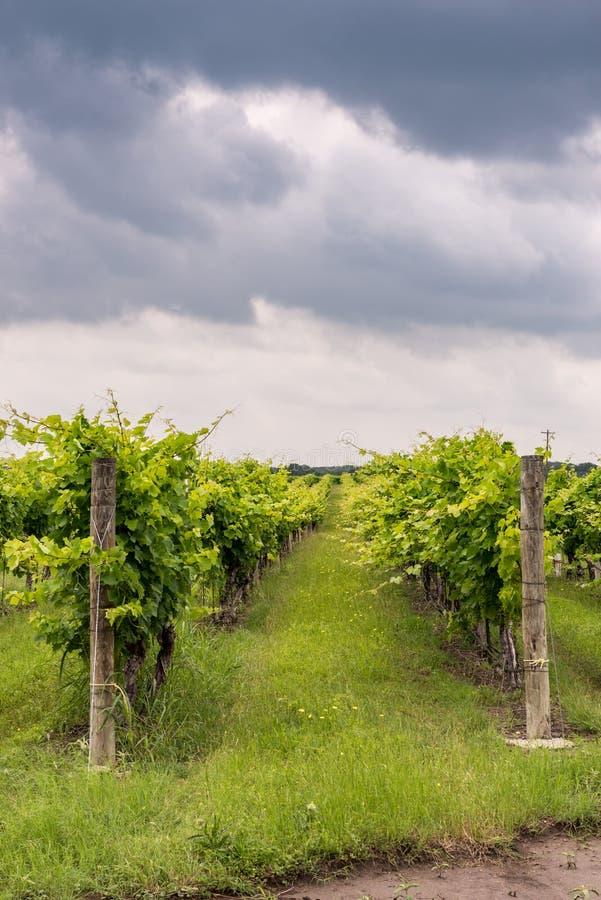 Reihen von Weinstöcken in Texas Hill Country lizenzfreie stockfotografie