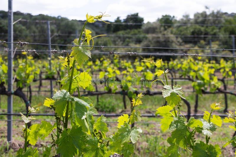 Reihen von Weinstockanlagen im italienischen Weinberg lizenzfreie stockfotos