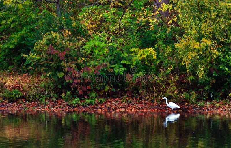 Reiher auf dem See im Herbst stockfotografie