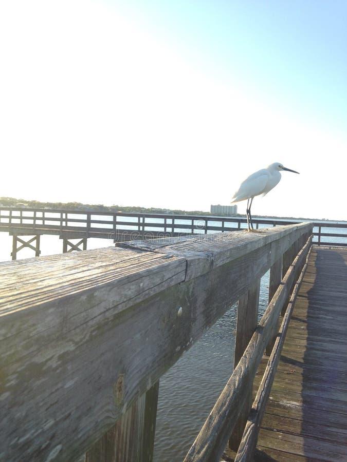 Reiher, der auf Pier auf Halifax-Fluss in Süd-Daytona, Florida während des Sonnenuntergangs sitzt stockbilder