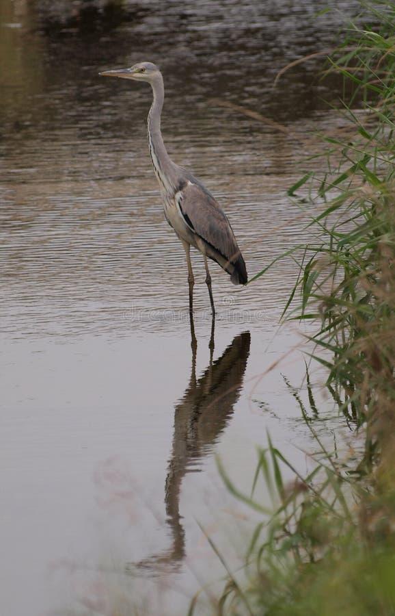 Reiher in einem Fluss. stockfotografie