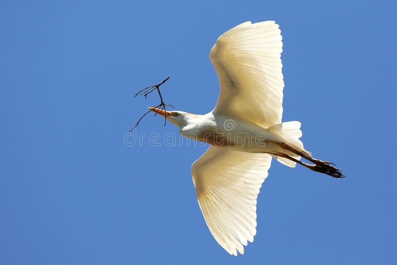Reiher-Fliegen mit dem Zweig im Schnabel lizenzfreie stockfotografie