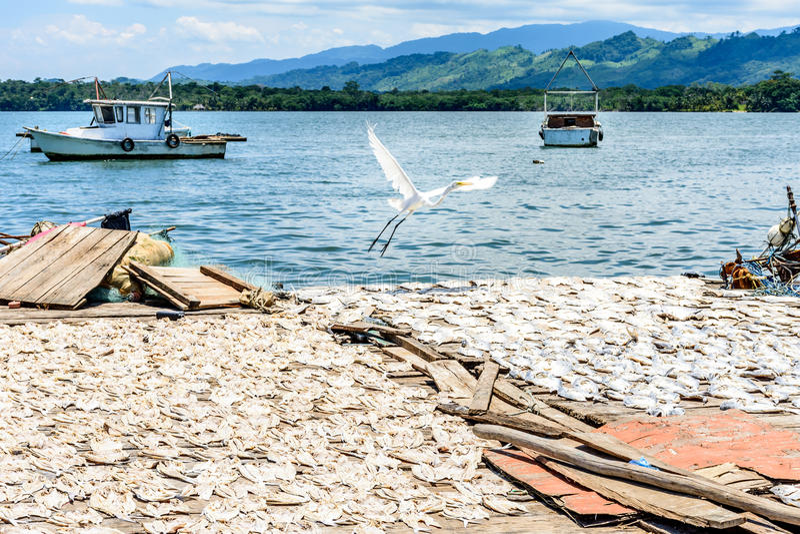 Reiher fliegt über trocknende Fische stockbilder
