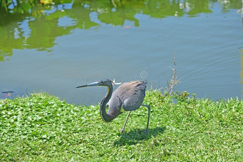 Reiher gehören zu den Vögeln auf dem See Eine große und mannigfaltige Anzahl von Vögeln machen See Morton ein Haus lizenzfreie stockfotos