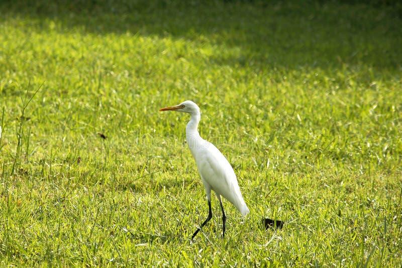 Reiher geht in einen nassen grünen Rasen in einem Park stockfoto