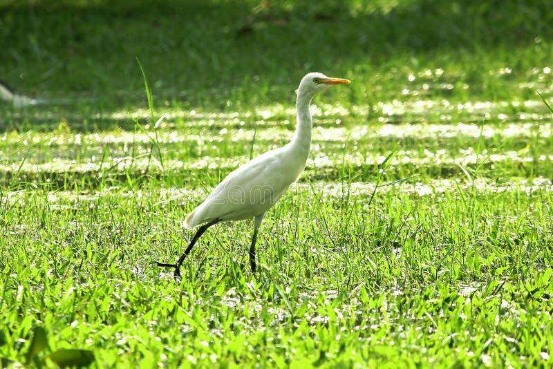 Reiher geht in einen nassen grünen Rasen in einem Park stockbild
