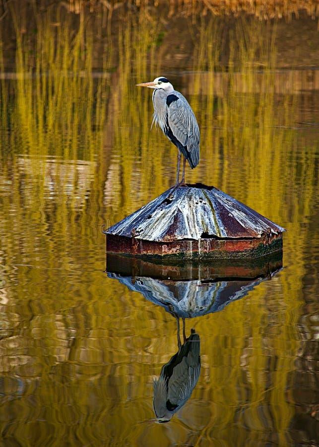 Reiher mit Reflexion auf Wasser stockbilder