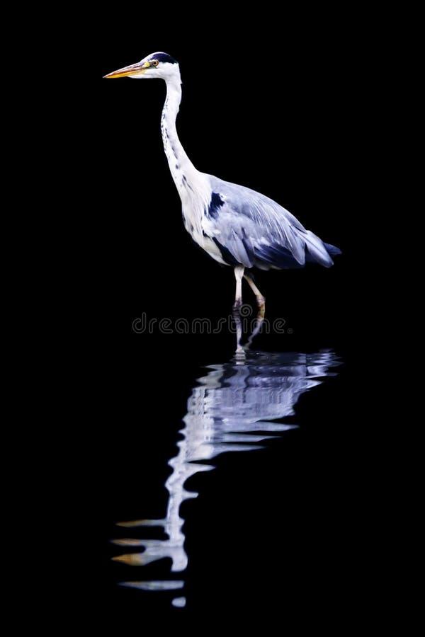Reiher reflektiert getrennt auf schwarzem Hintergrund lizenzfreie stockfotografie