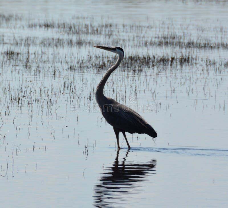 Reiher stand im gerade wartenden und aufpassenden See stockfotografie