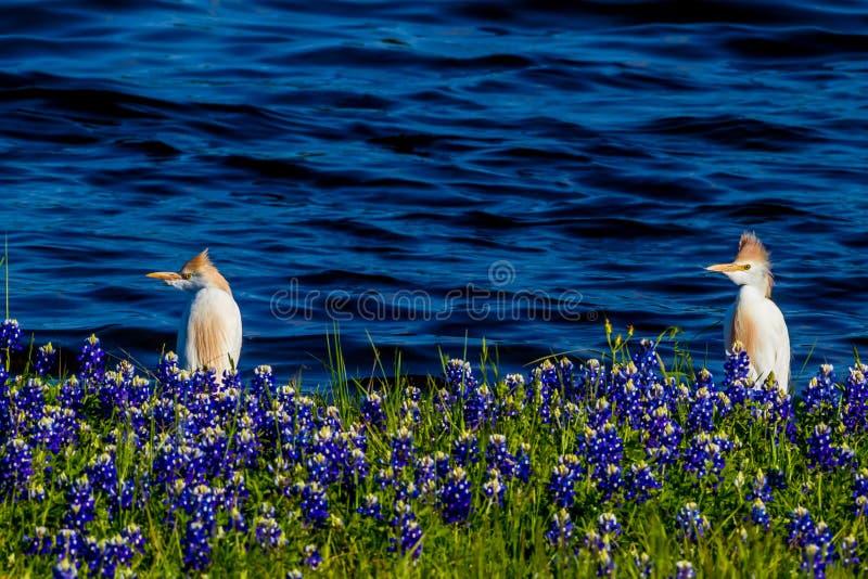 Reiher in Texas Bluebonnets am See Travis an Muleshoe-Biegung in T lizenzfreie stockfotos
