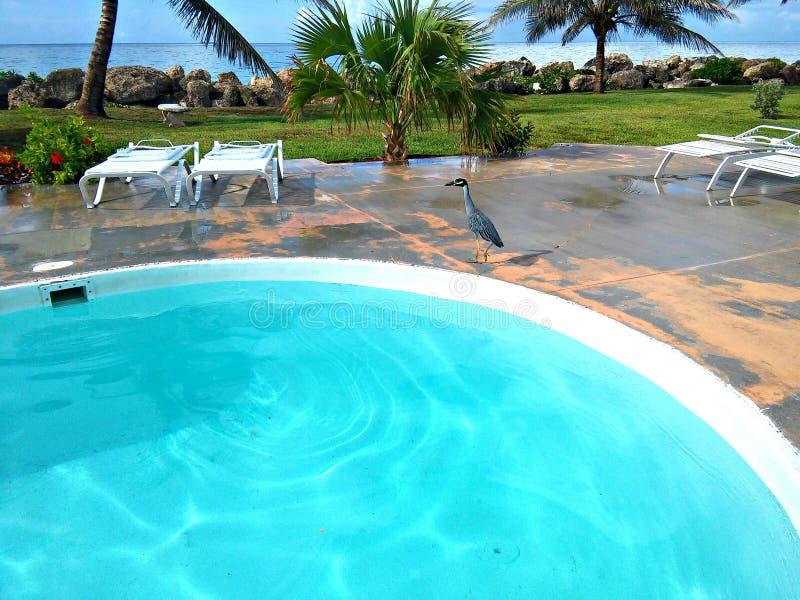 Download Reiher-Untersuchungspool stockbild. Bild von baum, bahamas - 96929195