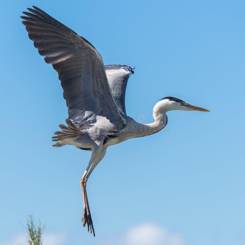 Reiher, Vogel stockfoto