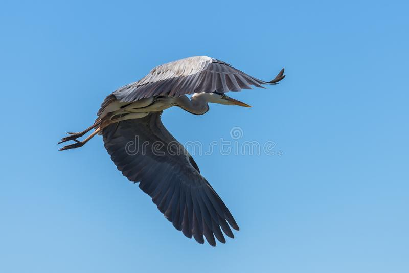 Reiher, Vogel lizenzfreies stockfoto