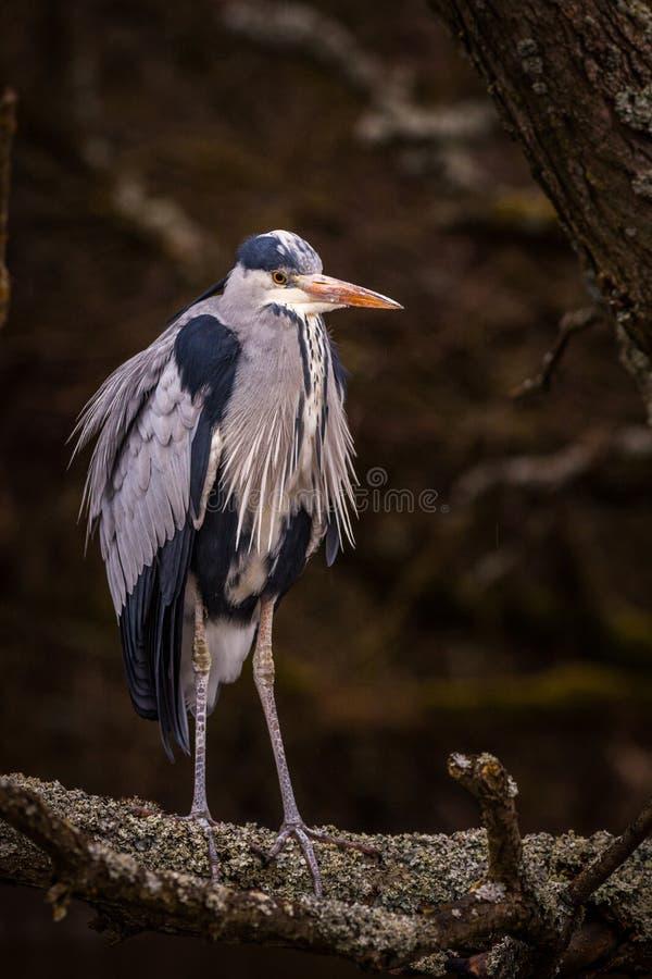 Reihergrauvogel stockfoto