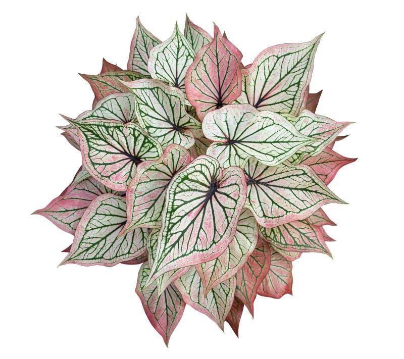 Reina del Caladium del aislante frondoso de la opinión superior de las plantas en el fondo blanco stock de ilustración