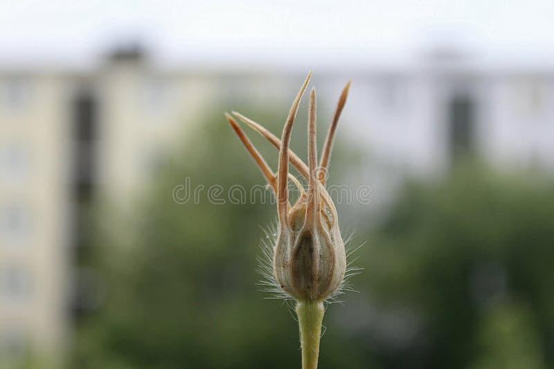 Reina Flor de otoño, Berlino fotografia stock