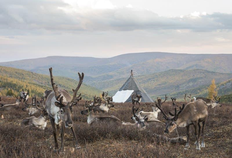 Reinceer i ett landskap av nordliga Mongoliet fotografering för bildbyråer