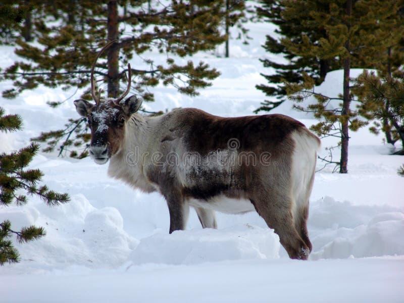 Reindeer-09 stock image