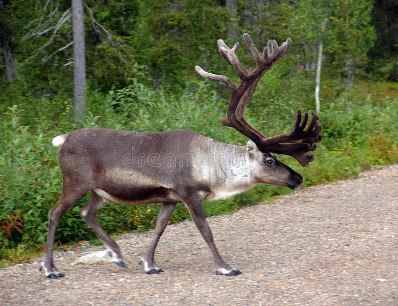 Reindeer stock photos
