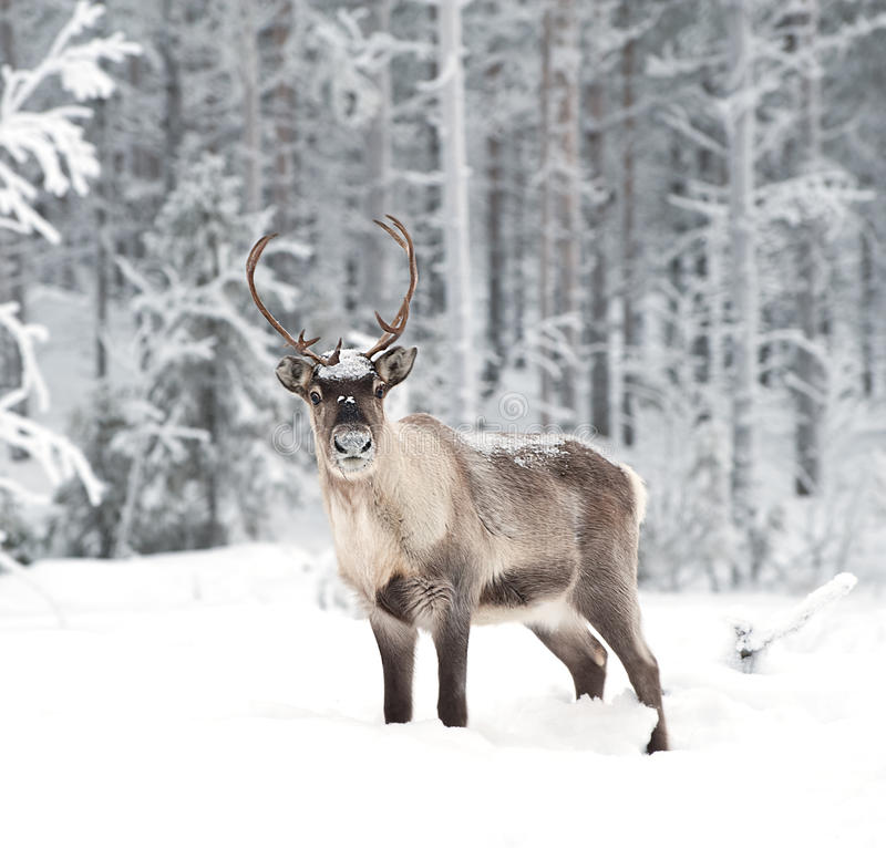 Free Reindeer Royalty Free Stock Photo - 12579175
