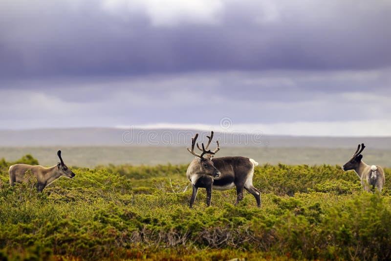 Download Reindeer stock photo. Image of outdoor, rein, habitat - 17836322