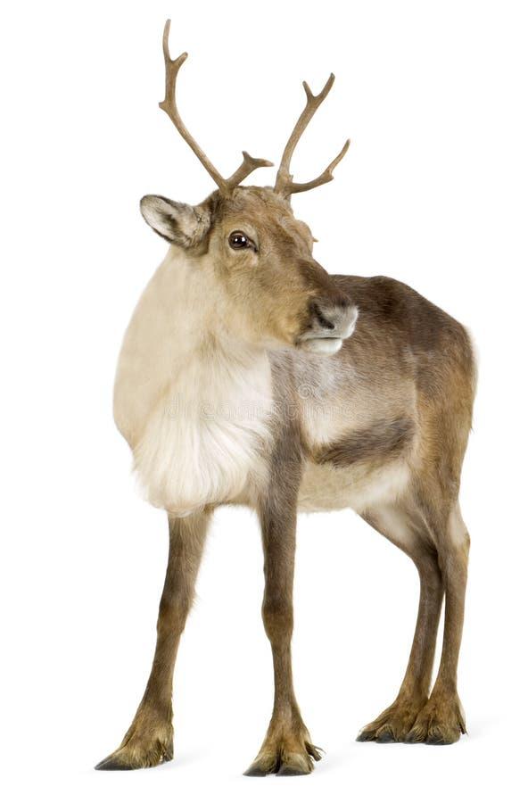 Free Reindeer (2 Years) Stock Photography - 4468712