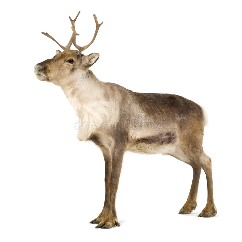 Reindeer (2 years) stock images