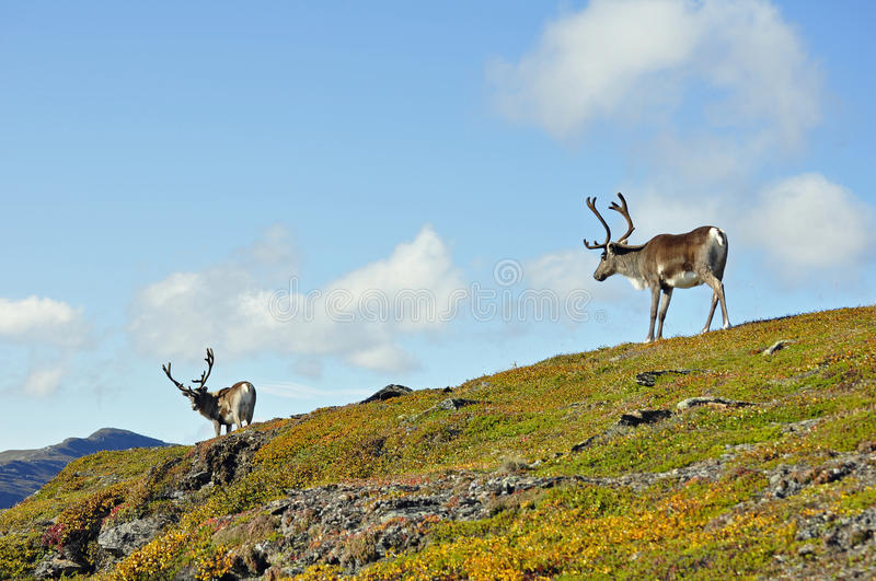 Reindeer royalty free stock photography