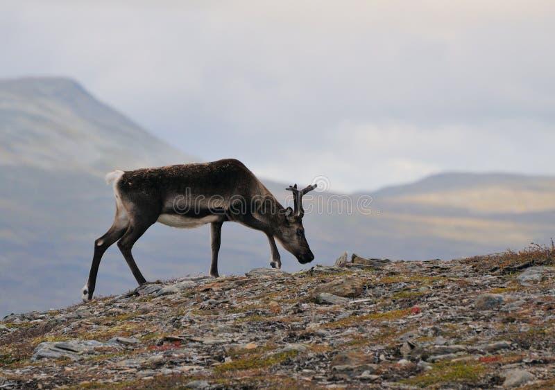 Download Reindeer Stock Images - Image: 21582924