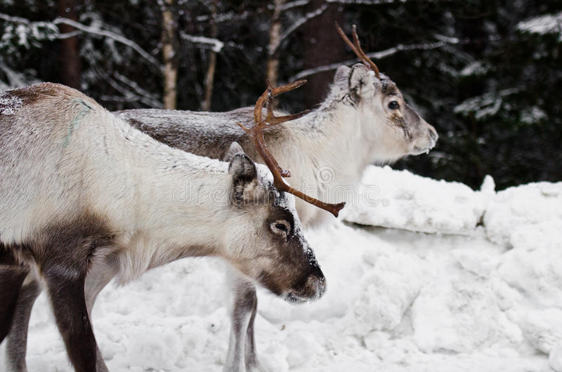 Download Reindeer stock photo. Image of mammal, north, scandinavia - 22668632