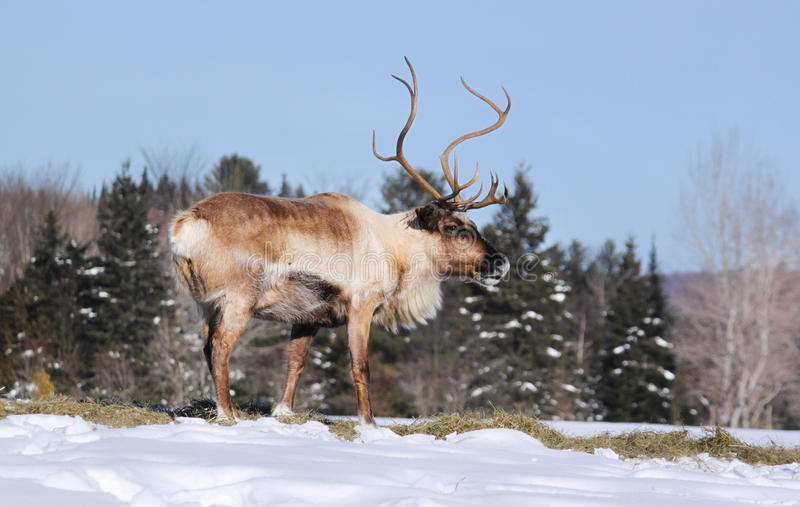 Download Reindeer stock photo. Image of bull, wild, grazing, lapland - 22936162