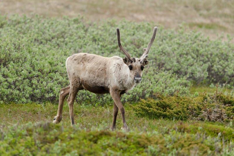 Download Reindeer stock image. Image of fell, rangifer, animal - 26788377