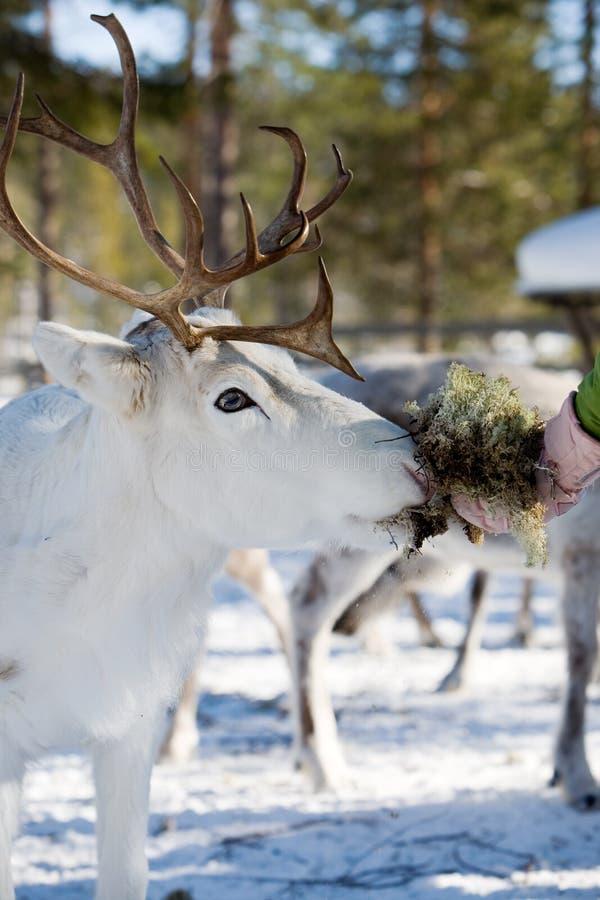 Download Reindeer stock photo. Image of scenics, mammal, feeding - 4708274